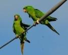 Green Parakeet (<I>Aratinga holochlora</I>), McAllen, Texas