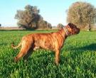 Dogo-espanol-(11)