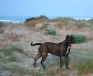 Dogo-espanol-(12)