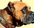 Dogo-espanol-(5)