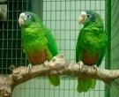 Amazona-ventralis-(2)