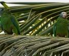 Amazona-ventralis-(5)