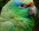 Amazona-festiva-(5)