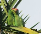 Amazona-Frentirroja-(5)