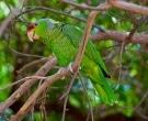 Amazona-Guayabera-(4)