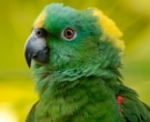Amazona-nuquigualda-(2)