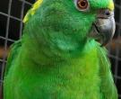 Amazona-nuquigualda-(4)