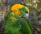 Amazona-nuquigualda-(7)