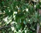 Amazona-Yucateca-(2)