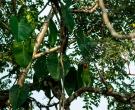 Amazona-Yucateca-(5)