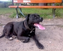American Mastiff Panja