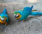 Guacamayo-azuliamarillo-(5)