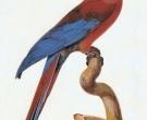 Guacamayo-cubano-(6)