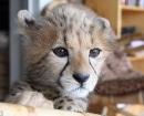 Jolie el guepardo, a los seis meses de edad, el tiene ahora ahora cuatro años
