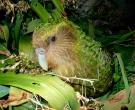 Kakapo-(4)
