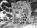 leopardo-de-las-nieves2