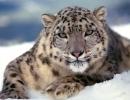 leopardo-de-las-nieves5