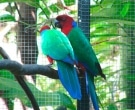 Papagayo-Granate-(4)