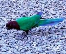 Papagayo-Granate-(5)