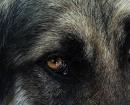 perro de montaña de Estrela