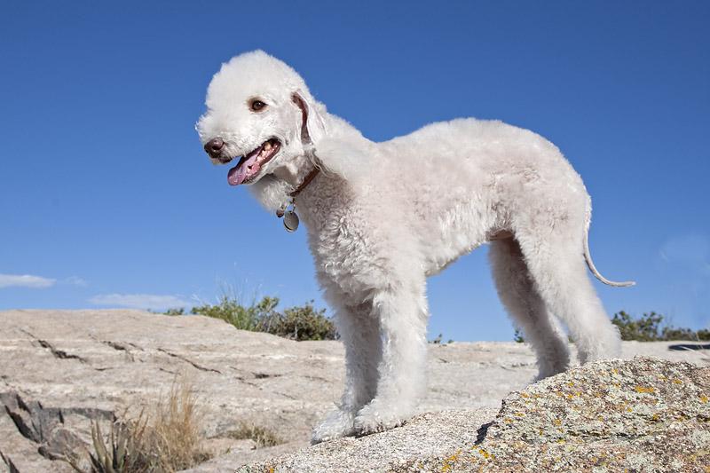 Bedlington Terrier por Ned Harris