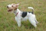 Fox Terrier pelo de alambre