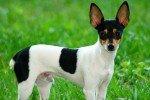 Fox Terrier Toy