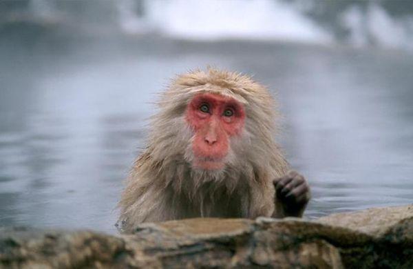 Macaco de las nieves
