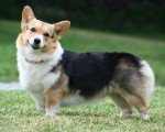 Welsh Cardigan Corgi