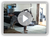 Barking Bluetick
