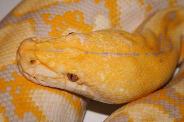 Python albina