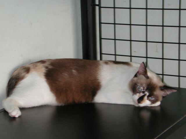 kucing malaysia 1