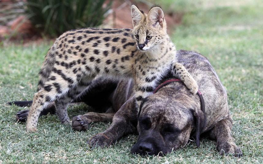 serval-dog