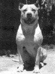 Perro de Pelea Cordobés