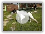 English pointer training and hunting (Purdey - 18 monthly, Hungary,)