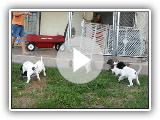 English Pointer Puppies - Bird Hunting Dogs