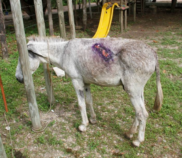 burros_heridos