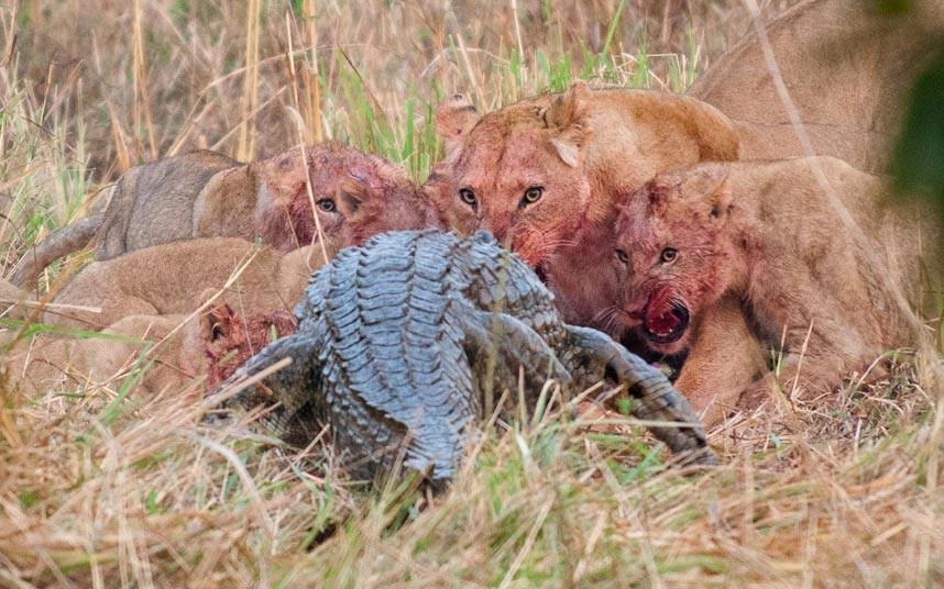 Cocodrilo y leones