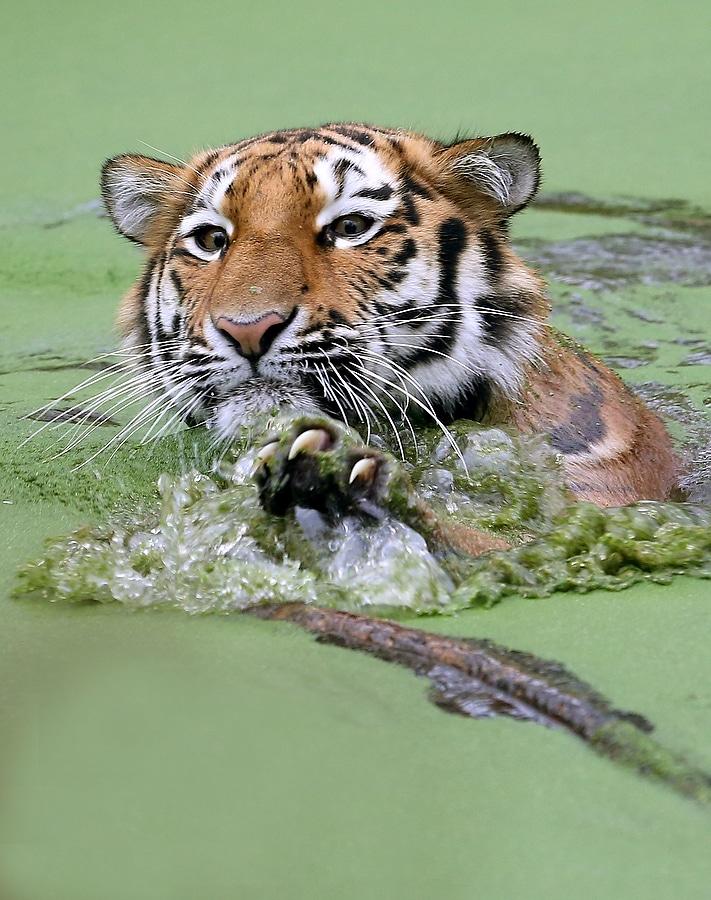 GERMANY-ANIMALS-TIGER