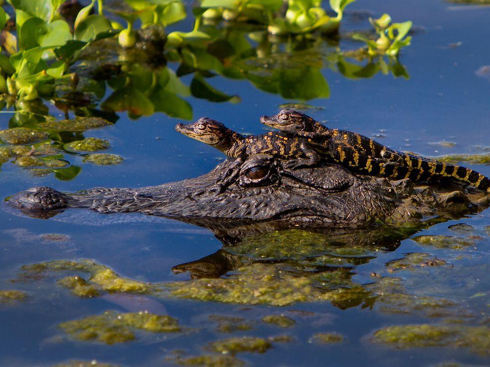 alligator-babies-texas