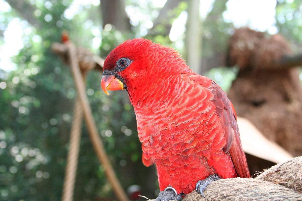Chalcopsitta cardinalis