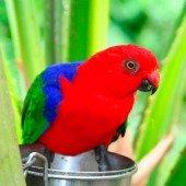Papagayo Moluqueño