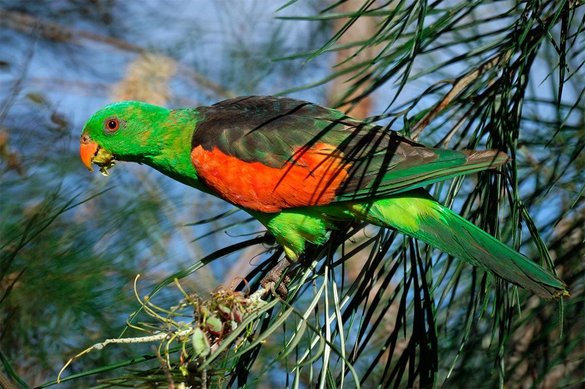 Papagayo Alirrojo