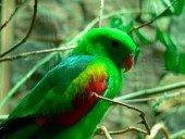 Papagayo de Timor
