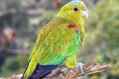 fuertes-parrot