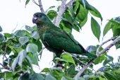 Amazona Jamaicana Piquioscura