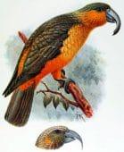 Kaka de Norfolk