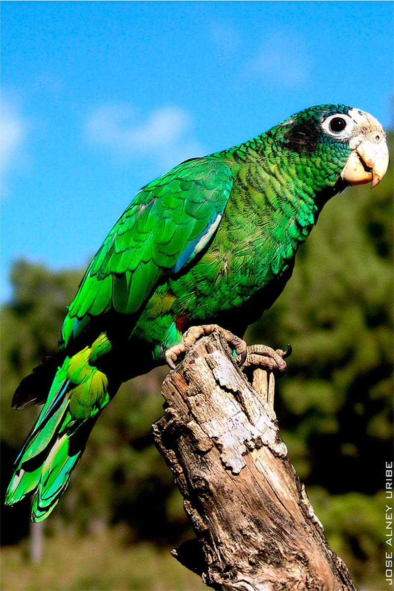 Amazona de la Española