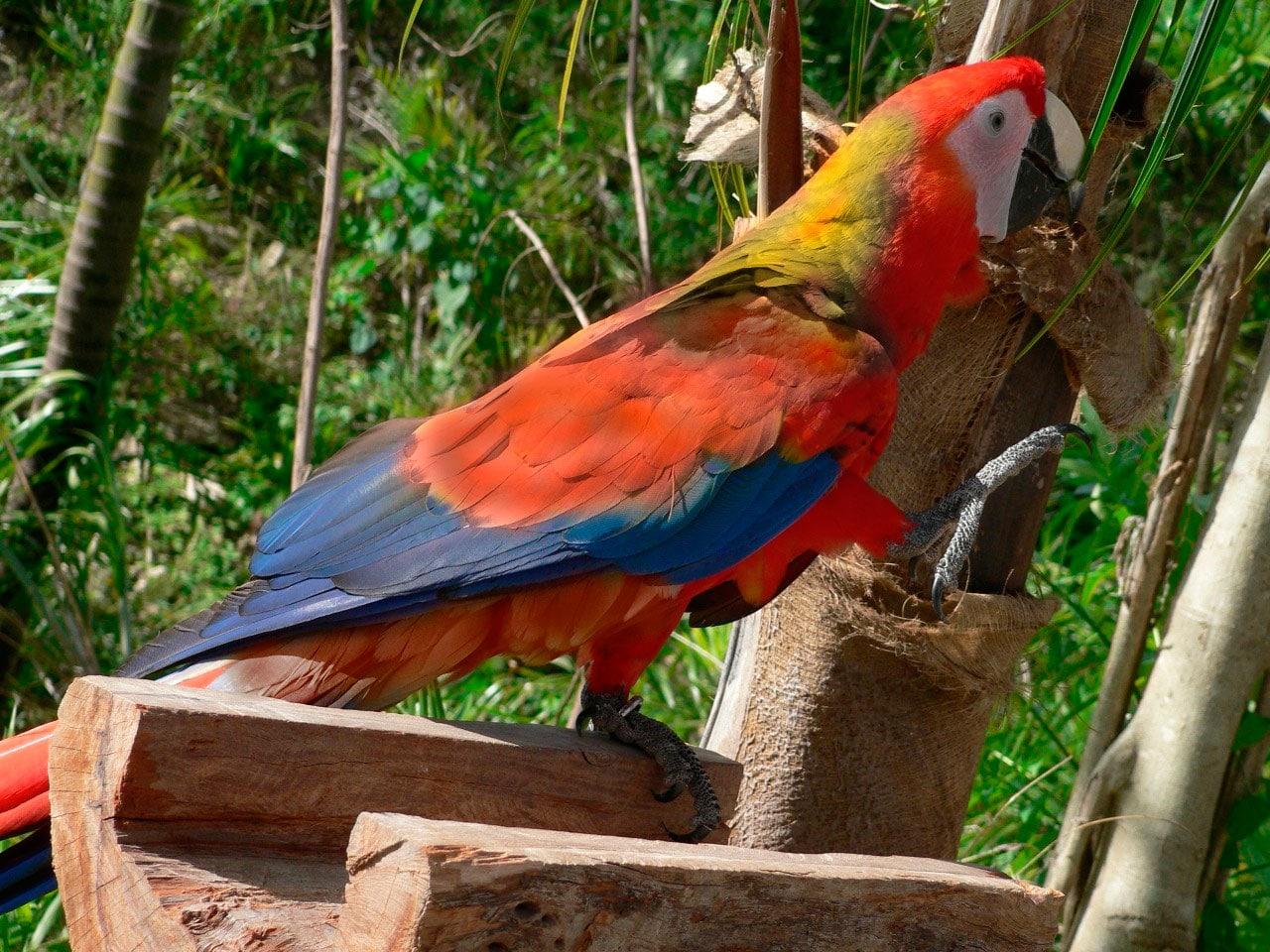 Guacamayo cubano